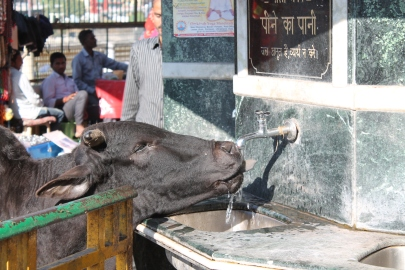 Thirsty Cow